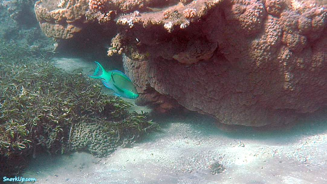 Шестиполосый попугай (лат.Scarus frenatus, анг.Bridled parrotfish)